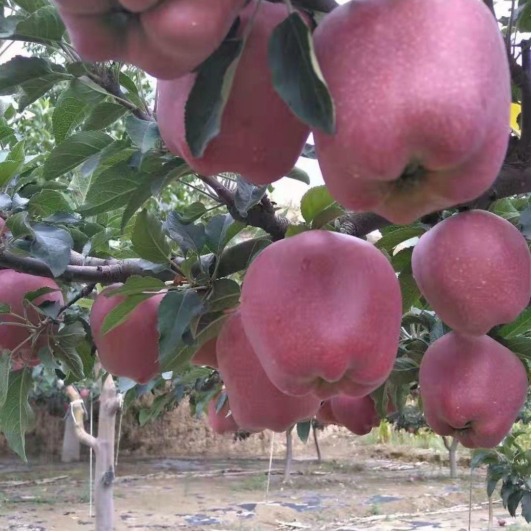 88626-现摘花牛苹果水果蛇果新鲜粉甘肃天水当季水果-详情图