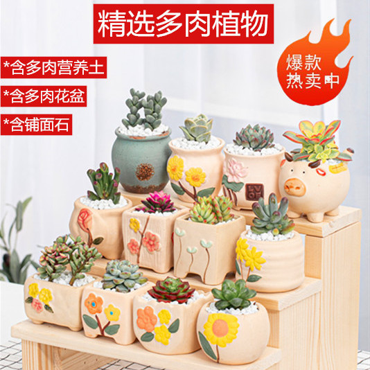 新手多肉植物组合套餐盆栽肉肉植物含花盆带土办公室桌面绿植花卉