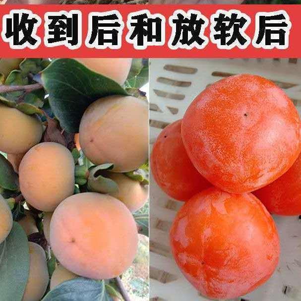 陕西火晶柿子新鲜水果火罐甜柿子现摘软柿子3/5/10斤整箱水果批发