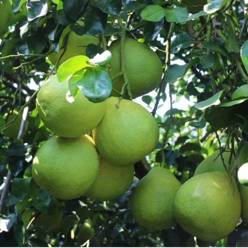 75703-【酸甜味】红心柚子琯溪蜜柚当季新鲜水果薄皮现摘现发带箱重-详情图