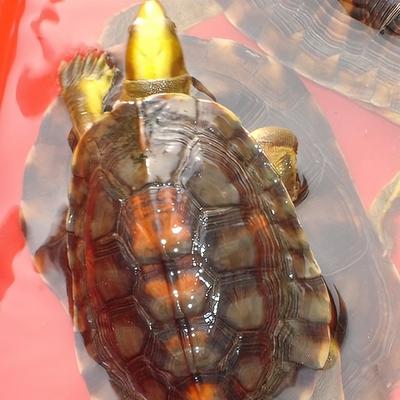 养龟技术鳄鱼金钱龟养殖视频教程 乌龟甲鱼养殖10套32GBU盘+1书